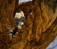 Mirada fija del buho Foto de archivo libre de regalías