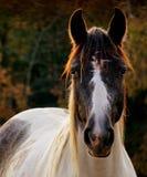 Mirada fija del caballo Foto de archivo libre de regalías