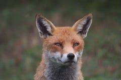 Mirada fija del Fox foto de archivo libre de regalías