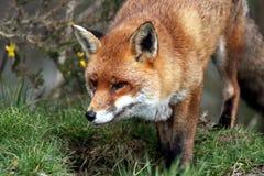 Mirada fija del Fox Fotografía de archivo libre de regalías