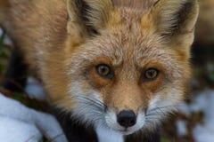 Mirada fija del Fox rojo Fotografía de archivo libre de regalías