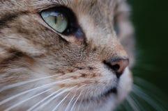 Mirada fija del gato Foto de archivo