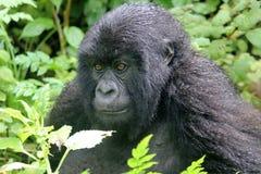 Mirada fija del gorila Imágenes de archivo libres de regalías