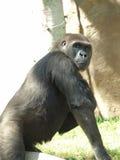 Mirada fija del gorila Foto de archivo libre de regalías