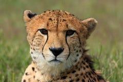 Mirada fija del guepardo Imágenes de archivo libres de regalías