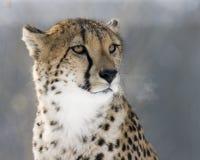 Mirada fija del guepardo Imagenes de archivo
