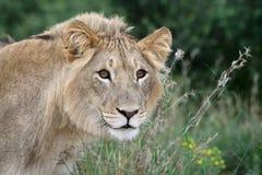 Mirada fija del león Foto de archivo libre de regalías