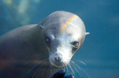 Mirada fija del león marino Imagen de archivo