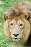 Mirada fija del león Imagenes de archivo