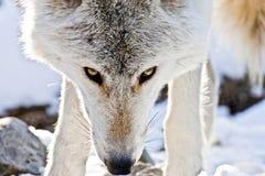 Mirada fija del lobo Fotografía de archivo
