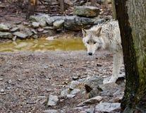 Mirada fija del lobo Foto de archivo libre de regalías