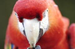Mirada fija del Macaw Fotos de archivo libres de regalías