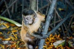 Mirada fija del mono Imagen de archivo