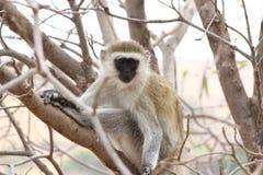 Mirada fija del mono de Vervet Imagenes de archivo