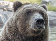 Mirada fija del oso Fotos de archivo