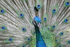 Mirada fija del pavo real Imagen de archivo libre de regalías