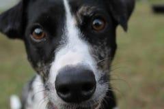 Mirada fija del perrito Fotografía de archivo