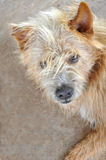 Mirada fija del perro imagen de archivo libre de regalías