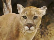 Mirada fija del puma Imagenes de archivo