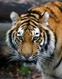 Mirada fija del tigre Foto de archivo libre de regalías