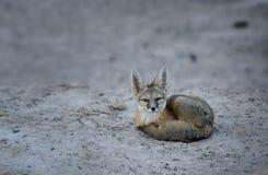 Mirada fija del zorro de equipo Fotografía de archivo