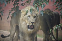 Mirada fija enfocada león masculino Imagenes de archivo