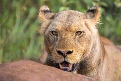 Mirada fija enojada del león a través de las hojas listas para matar Fotos de archivo