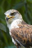 Mirada fija ferruginosa del halcón Fotos de archivo libres de regalías