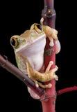 mirada fija Grande-eyed de la rana de árbol fotografía de archivo