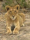 Mirada fija intensa del león Fotografía de archivo libre de regalías