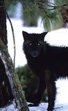 Mirada fija negra del lobo Imagen de archivo libre de regalías