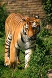 Mirada fija siberiana del tigre Fotografía de archivo