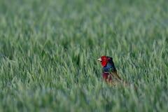 Mirada fuera del campo, primavera del gallo del faisán imágenes de archivo libres de regalías