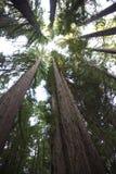 Mirada hacia arriba en parque de estado de las secoyas de Humboldt foto de archivo