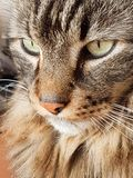Mirada interesante de un gato de gato atigrado de pelo largo foto de archivo