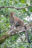 Mirada mjenacing del leopardo Fotografía de archivo libre de regalías
