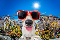 Mirada muda tonta loca del fisheye del perro Imagenes de archivo