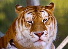 Mirada negra anaranjada del tigre de Bengala Fotografía de archivo libre de regalías