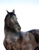 Mirada negra del retrato del caballo detrás aislada en blanco Fotografía de archivo
