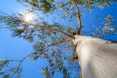 Mirada para arriba al árbol con el fondo del sol Fotografía de archivo libre de regalías