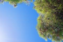 Mirada para arriba al cielo azul a través de ramas del árbol conífero Imagen de archivo libre de regalías