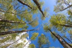 Mirada para arriba al cielo en bosque Imagen de archivo libre de regalías