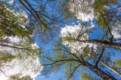 Mirada para arriba al cielo en bosque fotografía de archivo libre de regalías