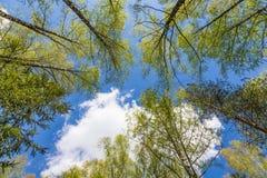 Mirada para arriba al cielo en bosque Fotografía de archivo
