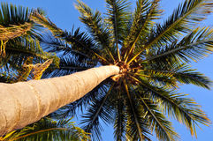 Mirada para arriba de la palma Ttree Fotos de archivo libres de regalías