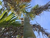 Mirada para arriba de las palmeras en fondo del cielo azul Fotografía de archivo