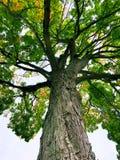 Mirada para arriba de un árbol de arce grande de azúcar fotografía de archivo