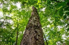 Mirada para arriba de un árbol de abedul maduro Imagen de archivo libre de regalías