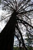 Mirada para arriba de un árbol grande Fotos de archivo