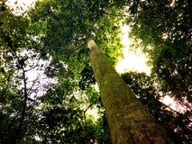 Mirada para arriba de un árbol viejo en el bosque Imagen de archivo